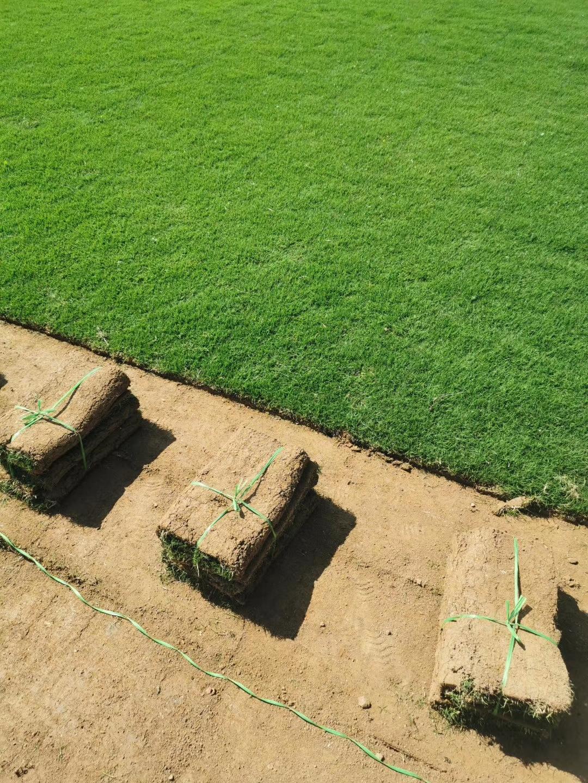 安徽 百慕大草皮种植基地直销价格