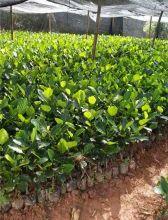 马来西亚一号菠萝蜜苗-菠萝蜜苗-菠萝蜜苗种植基地-菠萝蜜苗批发图片