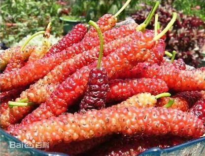 供应长果桑苗种植基地-基地直销-长果桑树苗价格