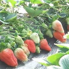 山东泰安红颜草莓苗种植基地-【山东泰安高新区北集坡凯硕园艺场】