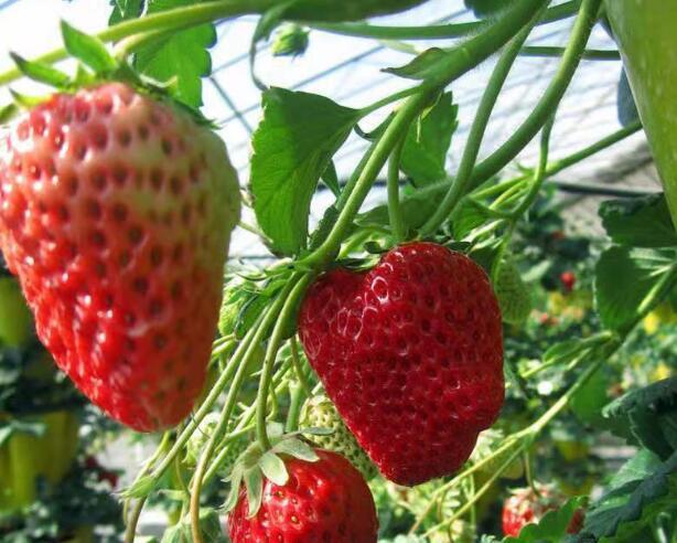 泰安草莓苗种植基地-【山东泰安高新区北集坡凯硕园艺场】