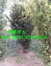 广西兴安精品红豆杉种植基地-【兴安县何鹏苗圃】