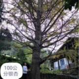 广西兴安精品银杏树种植基地-【兴安县何鹏苗圃】