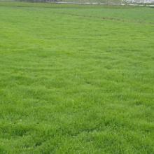 百慕大草坪,贵州百慕大草坪,贵州贵阳百慕大草坪批发商