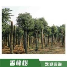 益阳香樟树种植基地,湖南益阳香樟树批发,湖南4公分香樟树批发