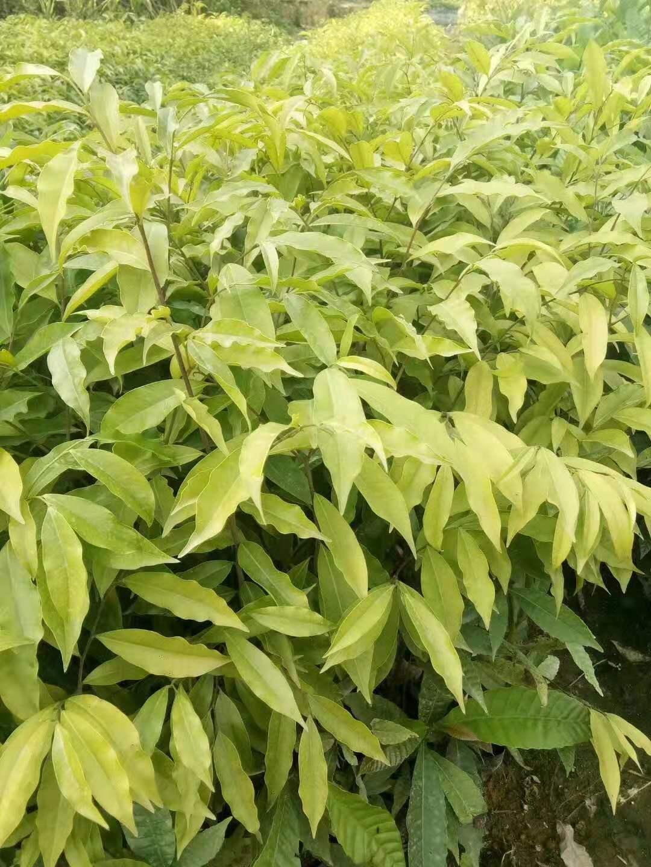 广州土沉香种植优质批发