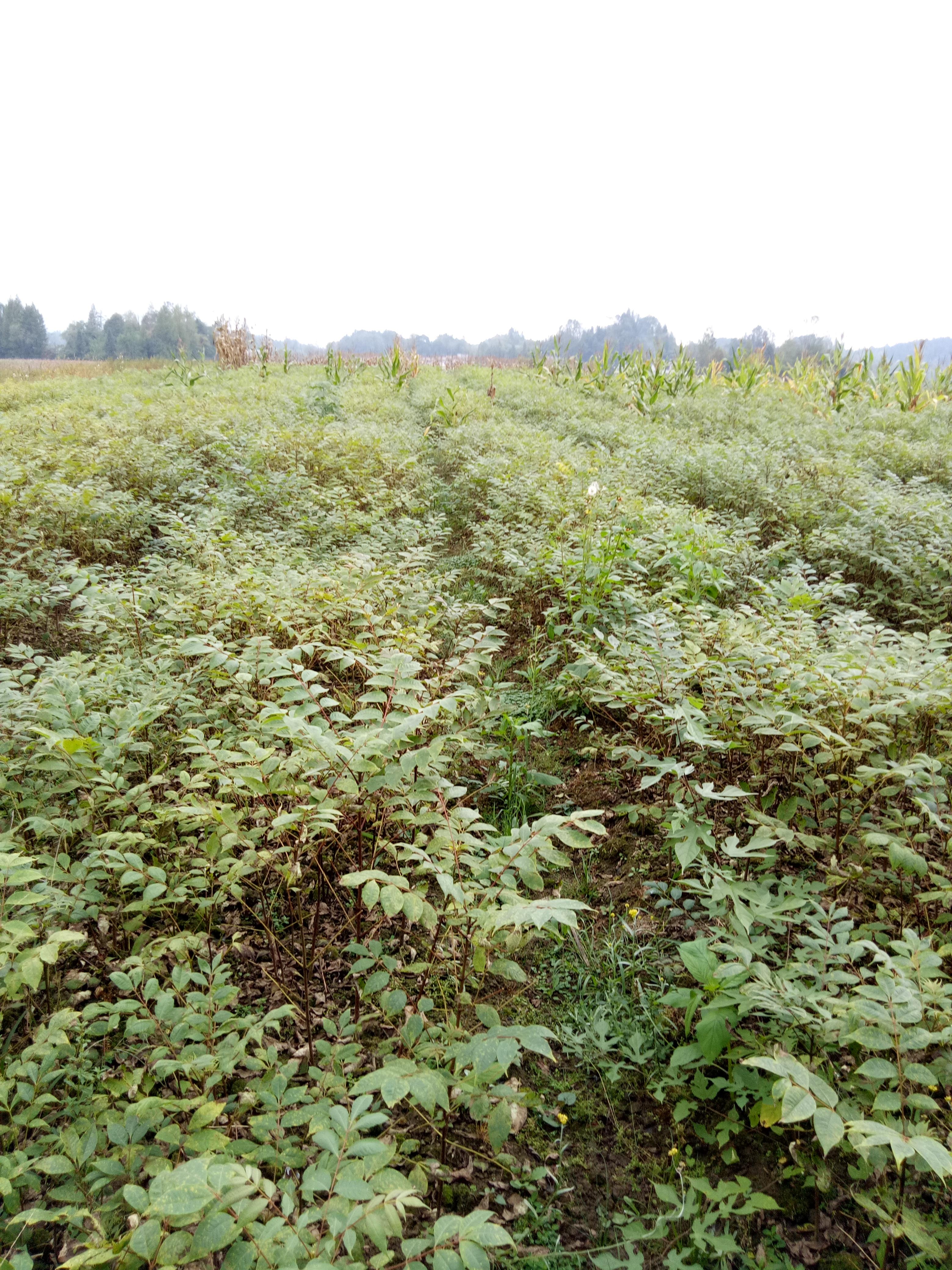 利川市黄柏种植基地大量现货批发直销 黄柏树苗多少钱一株 量大优惠欢迎咨询15587427888