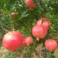河阴软籽石榴采摘园—批发商—供应商—种植