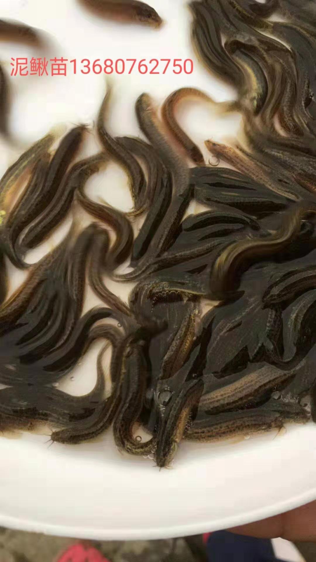 河源市泥鳅鱼苗厂家-供应商-批发