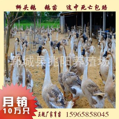 鹅苗价格 狮头鹅今日价格 养殖技术 生态放养大型鹅