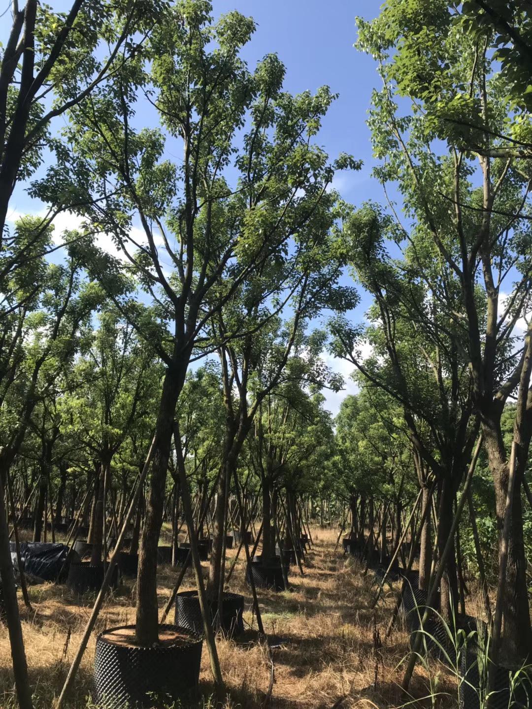 福建香樟种植基地价格/香樟种植基地报价多少/香樟种植基地批发价