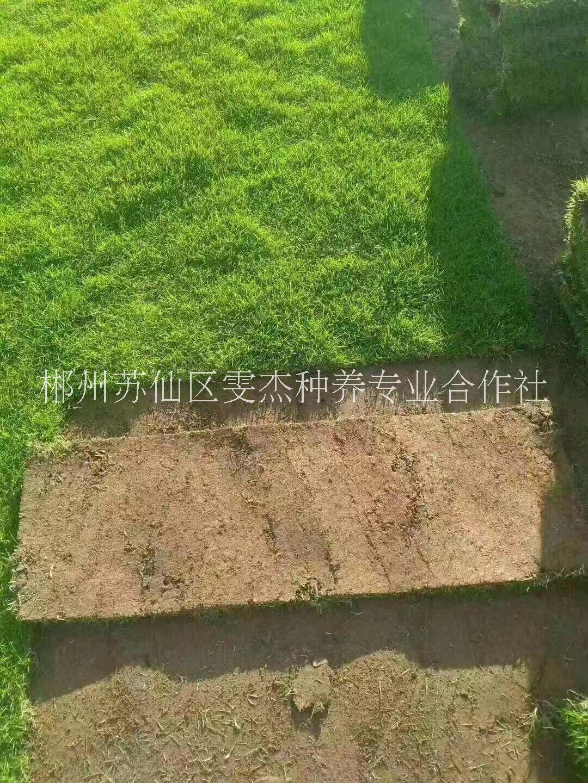 湖南郴州大量供应绿化草坪苗木,基地直销价格18975566561