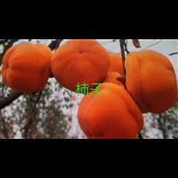 广西优质柿子苗种植基地直销批发价格-供应商找阳兴苗木