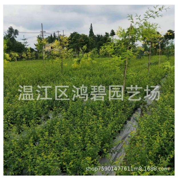 红花继木毛球价格、报价、批发【温江区鸿碧园艺场】