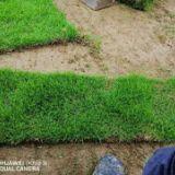 贵州马尼拉草坪基地-贵州马尼拉草坪批发价格【友谊草坪苗木基地】