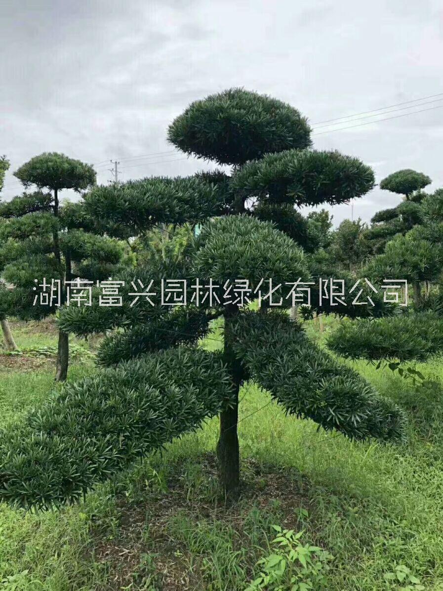 18公分造型罗汉松批发价多少钱浙江造型罗汉松哪里便宜 18公分造型罗汉松种植环境