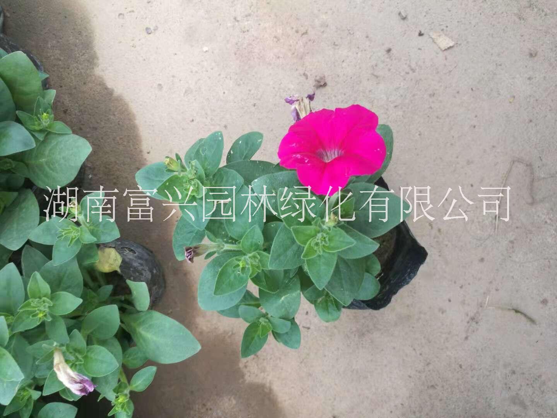 湖南时令花卉哪里有卖长沙哪里时令花卉质优价廉