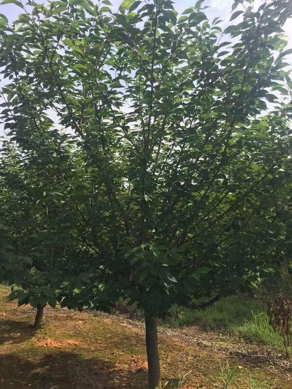 赣州樱花种植基地批发价-樱花供应商报价多少-樱花多少钱一棵-樱花哪里有卖的