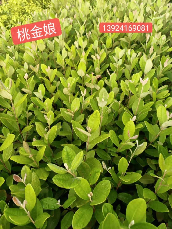 广州桃金娘苗种植基地直销批发价多少钱一颗  桃金娘苗大量现货优惠价出售咨询13924169081