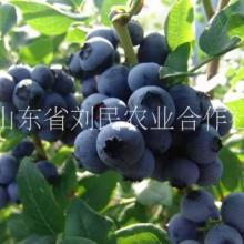 蓝莓苗,春高蓝莓苗价格,蓝莓苗直销电话,蓝莓苗多少钱一棵 春高蓝莓苗,南高丛蓝莓苗