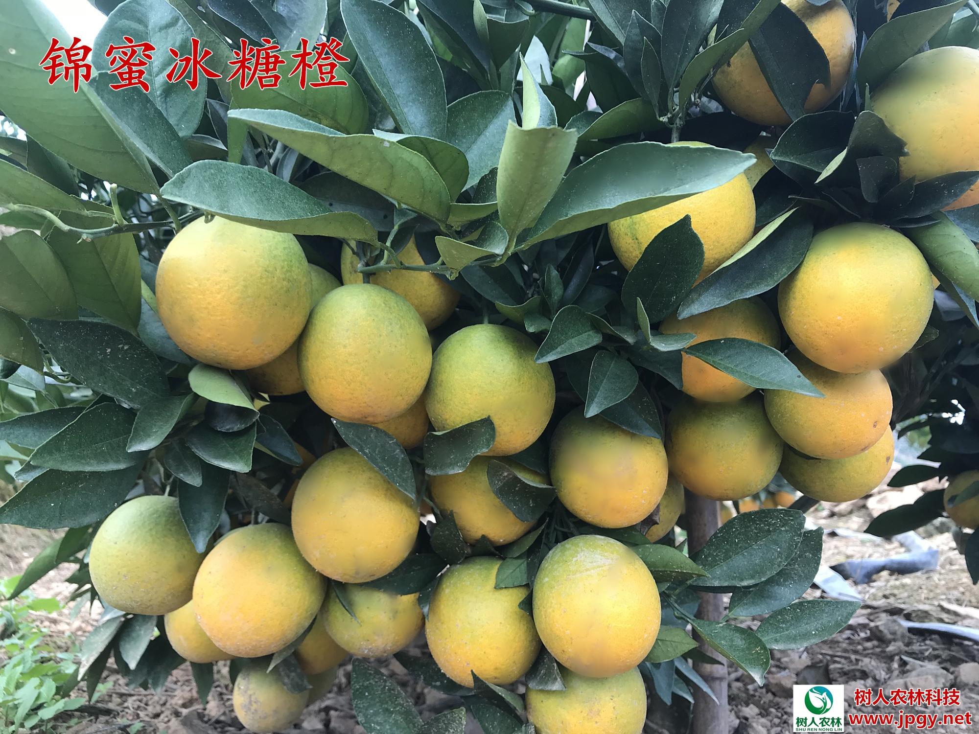 甜橙 甜橙苗 湖南脐橙苗种植批发价格多少钱