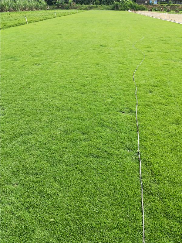 广东珠海细叶结缕草种植基地直销价格