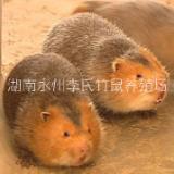 湖南永州商品竹鼠多少钱、批发、价格【双牌县创亿竹鼠养殖专业合作社】