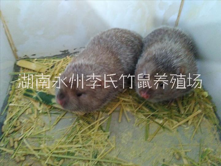 湖南永州竹鼠养殖,永州竹鼠专业养殖基地,简单的竹鼠养殖方法