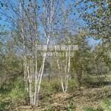 精品丛生白桦树种植基地,黑龙江优质丛生白桦树基地批发,黑龙江丛生白桦树供应商