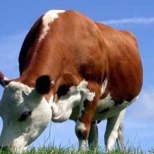 牛饲料添加剂-牛饲料厂家直供