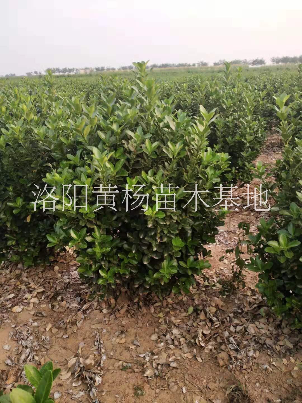 大叶黄杨50-60毛球基地-供应商-报价