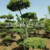 洛阳市小叶女贞造型树价格-专业种植小叶女贞造型树-苗木场电话
