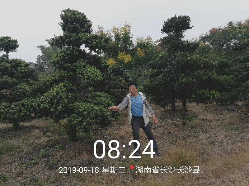 湖北造型罗汉松基地-【湖北高2.5-4.5m造型罗汉松价格】