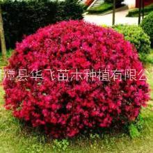 红花檵木种植技术-贵州遵义市红继木种植基地-贵阳苗木场批发