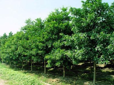 常德市杜英种植基地-湖南苗圃场-批发苗木