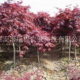 泰山市12公分美国红枫基地-供应商-报价