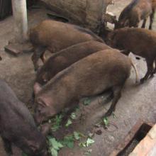野猪养殖 养殖基地 养殖技术【山东轩宁珍禽养殖有限公司】