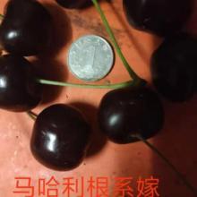 辽宁营口市樱桃批发 长期供应新鲜殷桃 订购批发图片