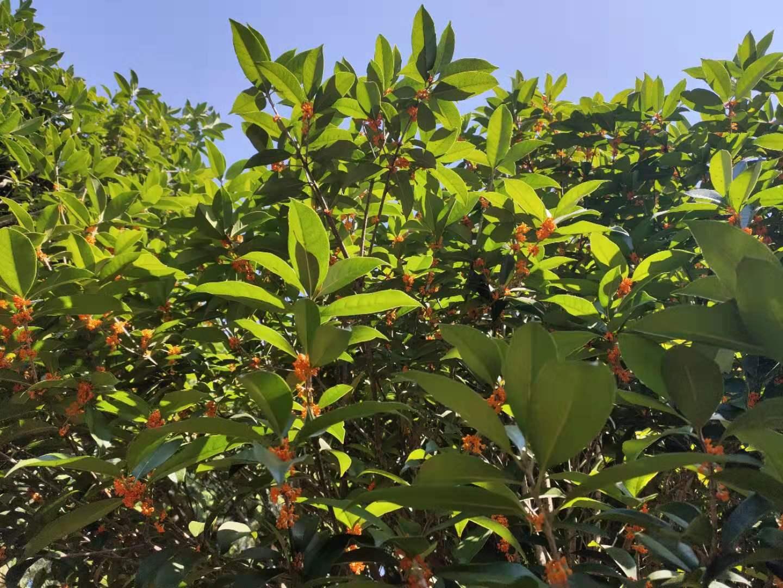 长沙市状元红桂花树 长沙状元红桂花树