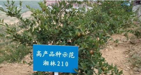 湖南湘林210油茶苗基地一手批发-油茶苗种植基地-油茶杯苗价格