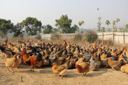 南宁市散养鸡批发-土鸡供应商-土鸡养殖基地 现货批发
