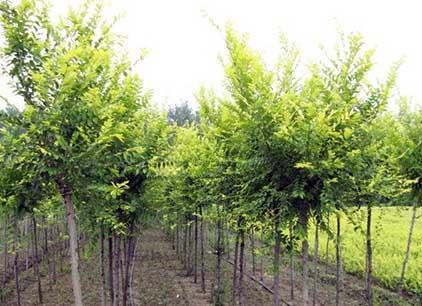 白榆树苗种植基地 白榆 价格