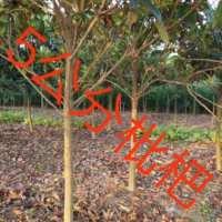 江苏枇杷树基地-防护树江苏枇杷树批发价格-【东台市周氏苗圃】