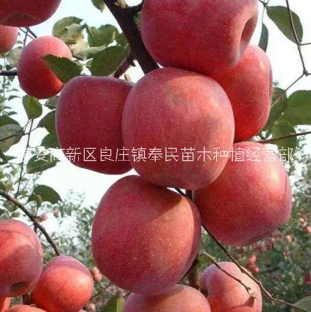 甘肃优质鲁丽苹果苗批发价,甘肃专业培育鲁丽苹果苗育苗基地,甘肃鲁丽苹果苗报价-价格-批发价