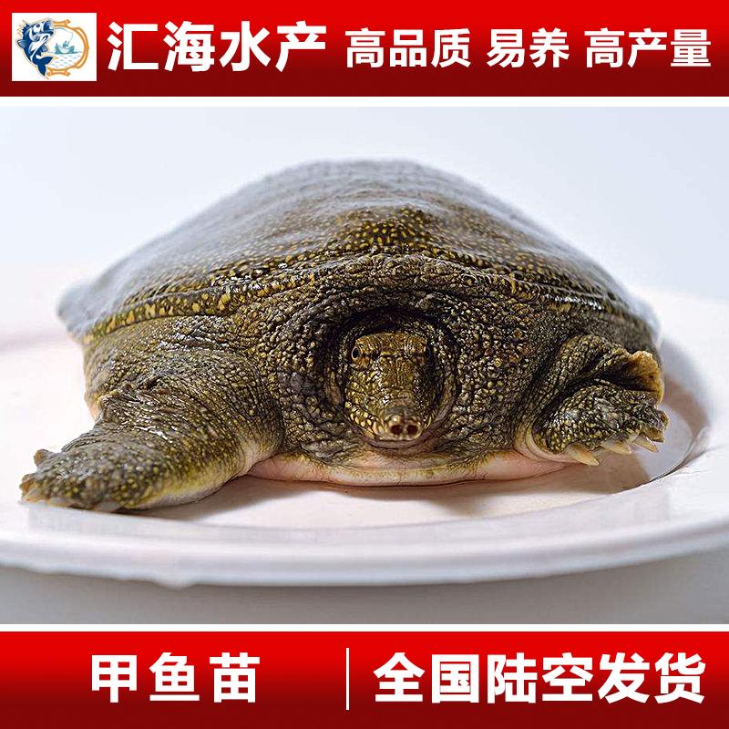 甲鱼苗 水鱼苗 中华鳖苗 黄沙鳖销售