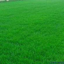 南京市草坪种植 园林绿化专用草皮 优质草皮价格图片