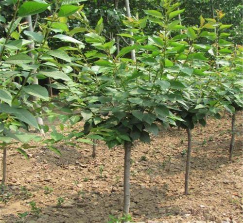 樱花树种植基地 园林专用观赏树苗 江苏苗木基地