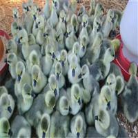 【广西南宁出售批发市场】广西南宁狮头苗养殖场_广西狮头苗出售批发价格