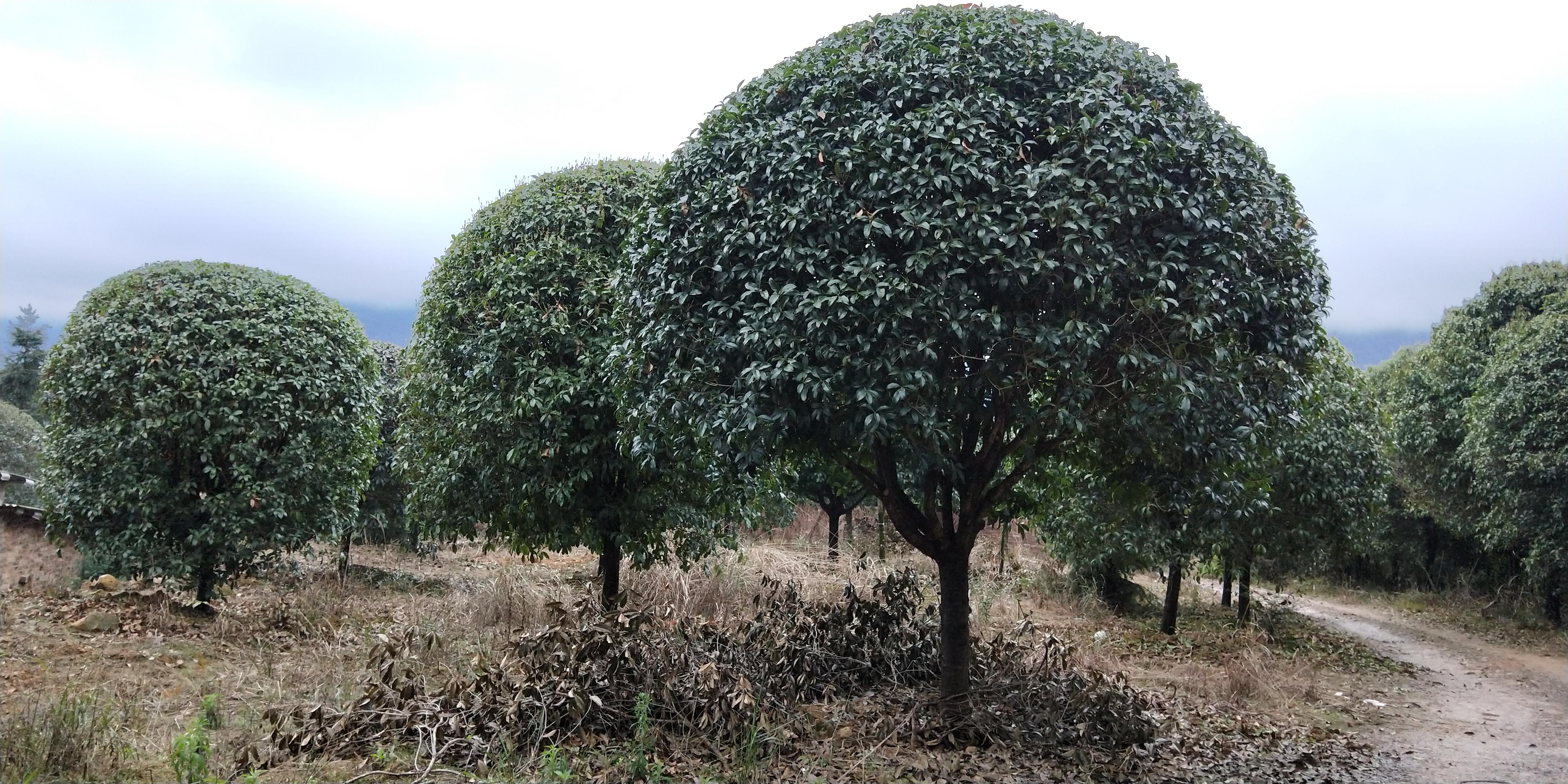 钦州市精品桂花树种植基地批发价格