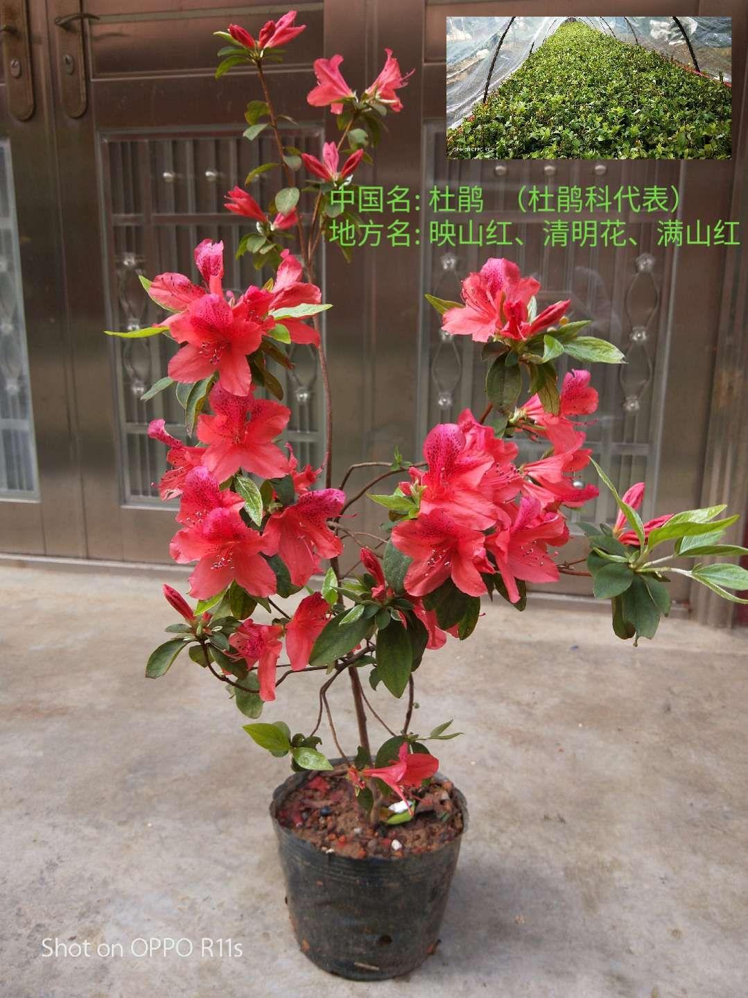 广西桂林市精品杜鹃价格-供应商